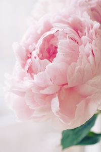 Pink Peony from Pinterest