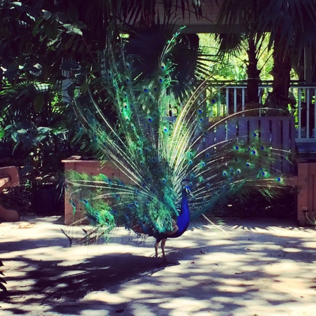 Peacocks in Ft. Lauderdale